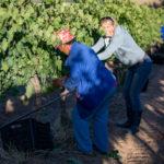 pluk in wijngaard 2